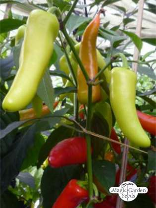 Chili 'Hot Banana' (Capsicum annuum)