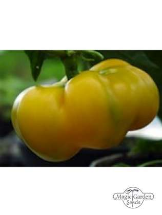 Gelbe Chili-Paprika 'Yellow Cheese Pimento' (Capsicum annuum)