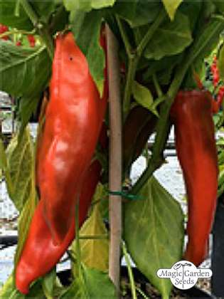 NuMex Chili 'Big Jim' (Capsicum annuum)