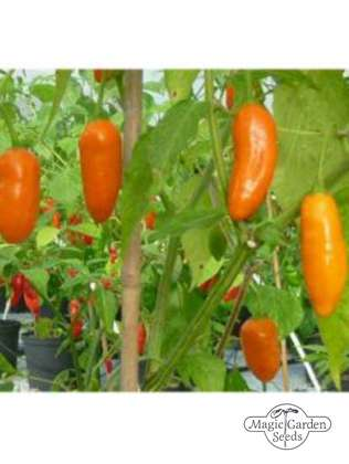 Salsa-Chili 'Aji Little Finger Orange' (Capsicum baccatum)