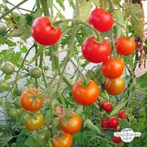 Buschtomate 'Outdoor Girl' (Solanum lycopersicum) #0