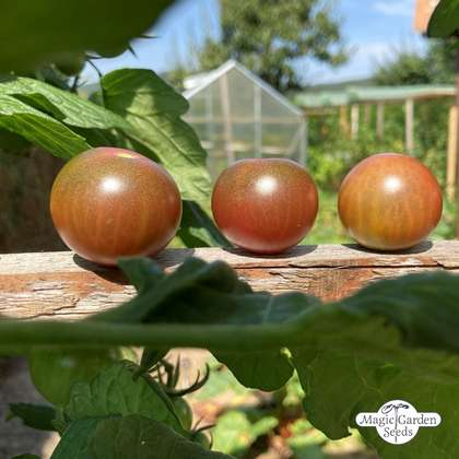 Cocktailtomate 'Black Sweet Cherry' (Solanum lycopersicum)