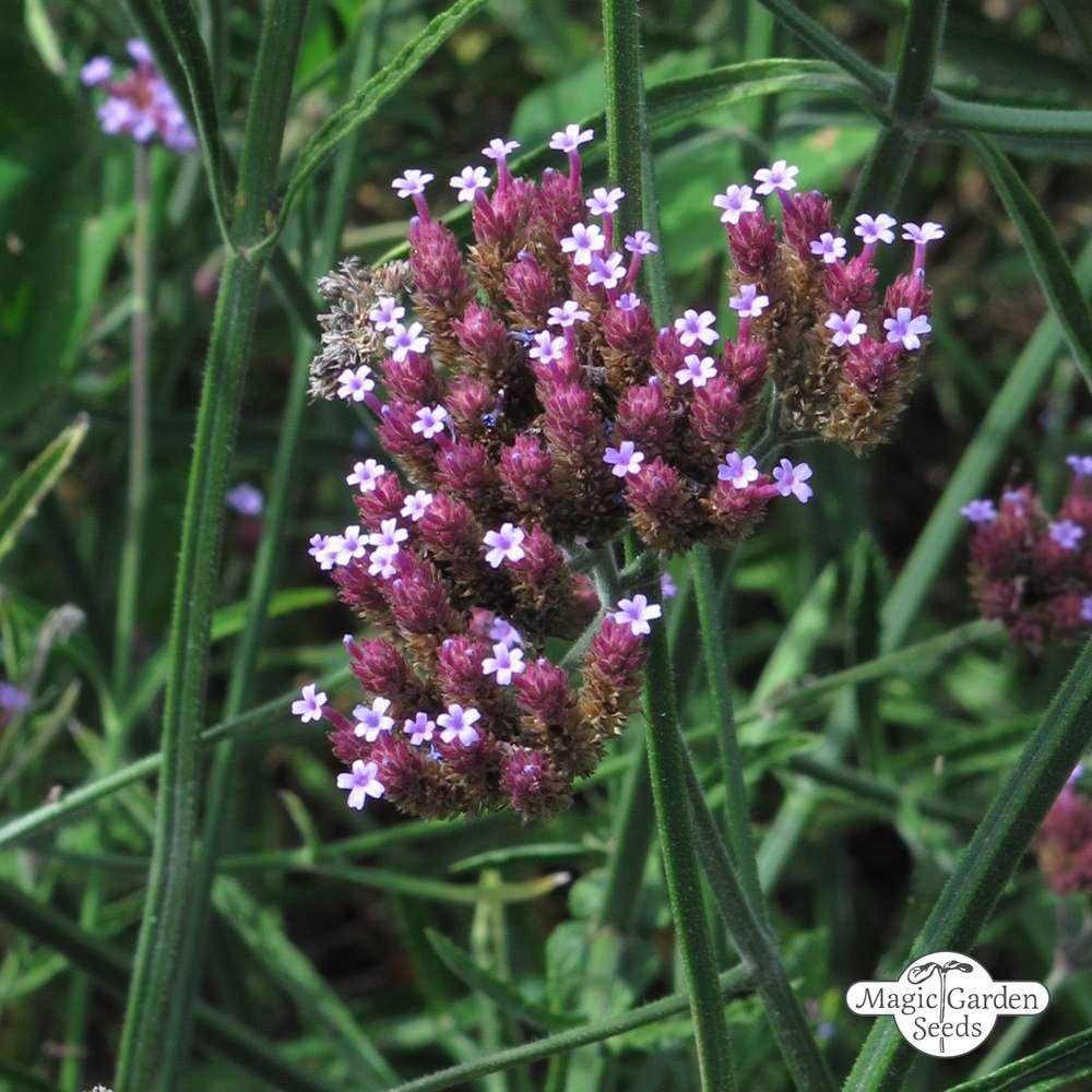 Verbena bonariense Heilpflanze ab 1,62 Eisenkraut