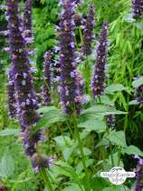 Duftnessel (Agastache mexicana) #0