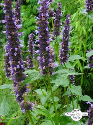 Duftnessel (Agastache mexicana)