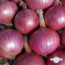 Zwiebel 'Red Baron' (Allium cepa) Bio #1