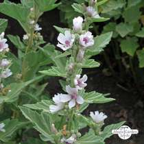 Echter Eibisch (Althaea officinalis) Bio #0