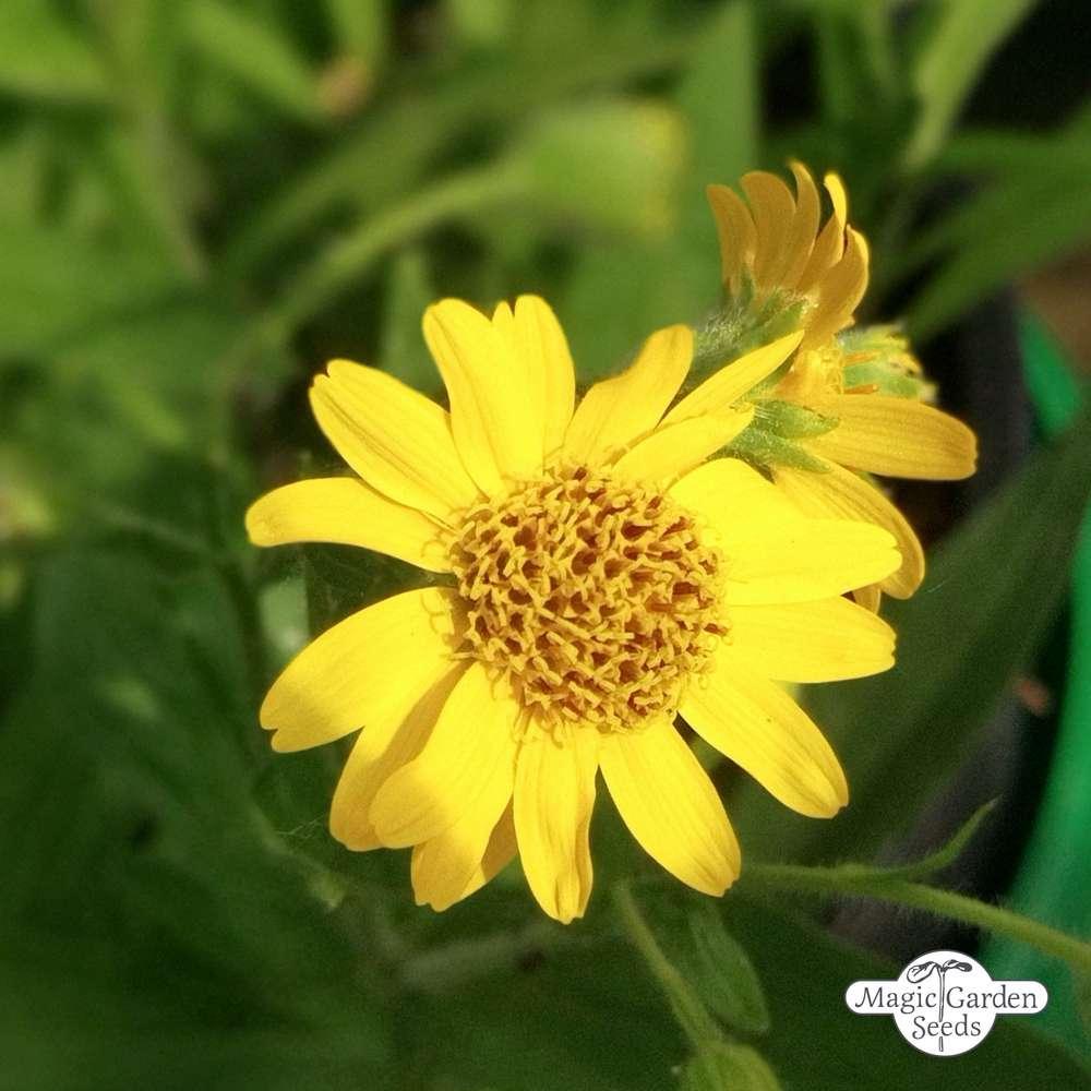 40//160 Samen Arnica Amerikanisch Gelb Blume Arnica Chamissonis Arnique Chamisso