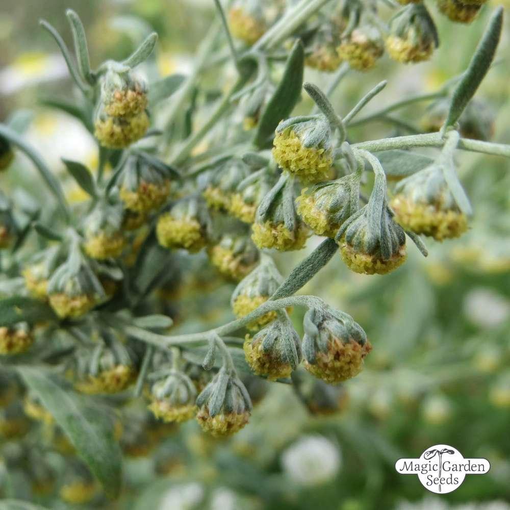 Artemisia absinthium L 1000 Samen Wermutkraut