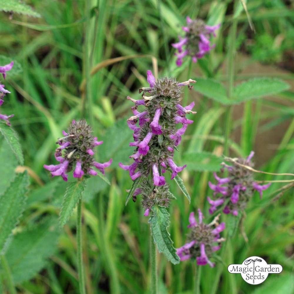 50 Samen Heilpflanze Heilziest Heil Ziest Betonica officinalis
