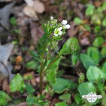 Löffelkraut (Cochlearia officinalis) #2