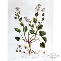 Löffelkraut (Cochlearia officinalis) #4