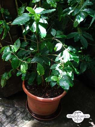 Bergkaffee (Coffea arabica)