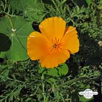 Kalifornischer Goldmohn (Eschscholzia californica) Bio #1