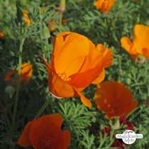 Kalifornischer Goldmohn (Eschscholzia californica) Bio #3