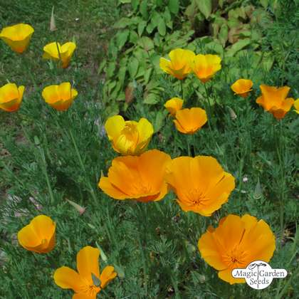 Kalifornischer Goldmohn (Eschscholzia californica) Bio