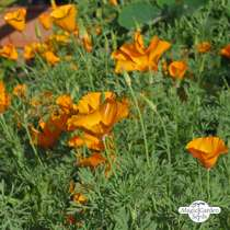 Kalifornischer Goldmohn (Eschscholzia californica) Bio #5