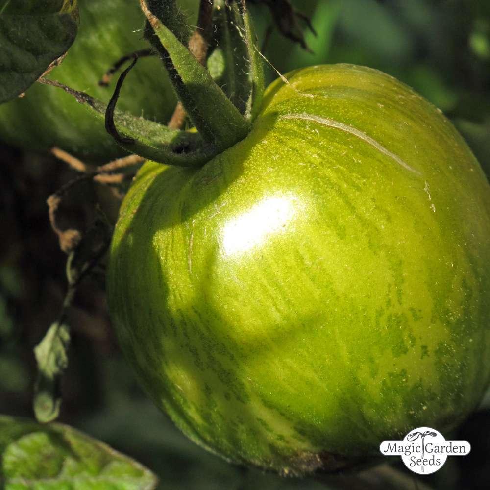 Fabelhaft Gestreifte Tomate 'Grünes Zebra' (Solanum lycopersicum @SD_36
