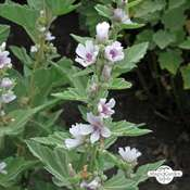 Echter Eibisch (Althaea officinalis) Bio