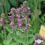 Heilziest, Echte Betonie (Betonica officinalis) Bio