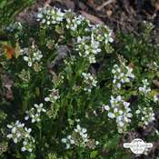 Löffelkraut (Cochlearia officinalis)