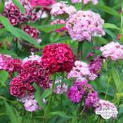 Bartnelke 'Sweet William' (Dianthus barbatus) Bio