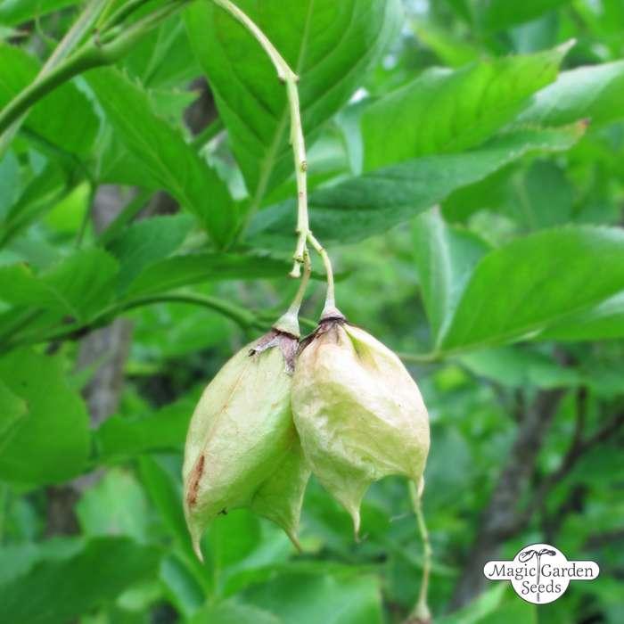 Top Baum Samen - Samen & Saatgut &GW_42
