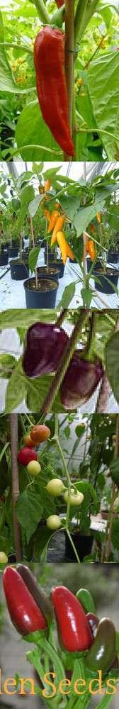 Chili Anzucht Set Unbeheizt Gewurz Chilis 5 Seltene