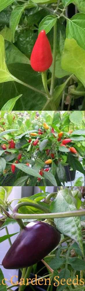 Chili Anzucht Set Unbeheizt Buschige Chilisorten Fur Den Topf 3