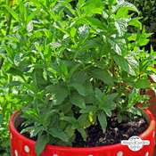 Pfefferminze (Mentha piperita)