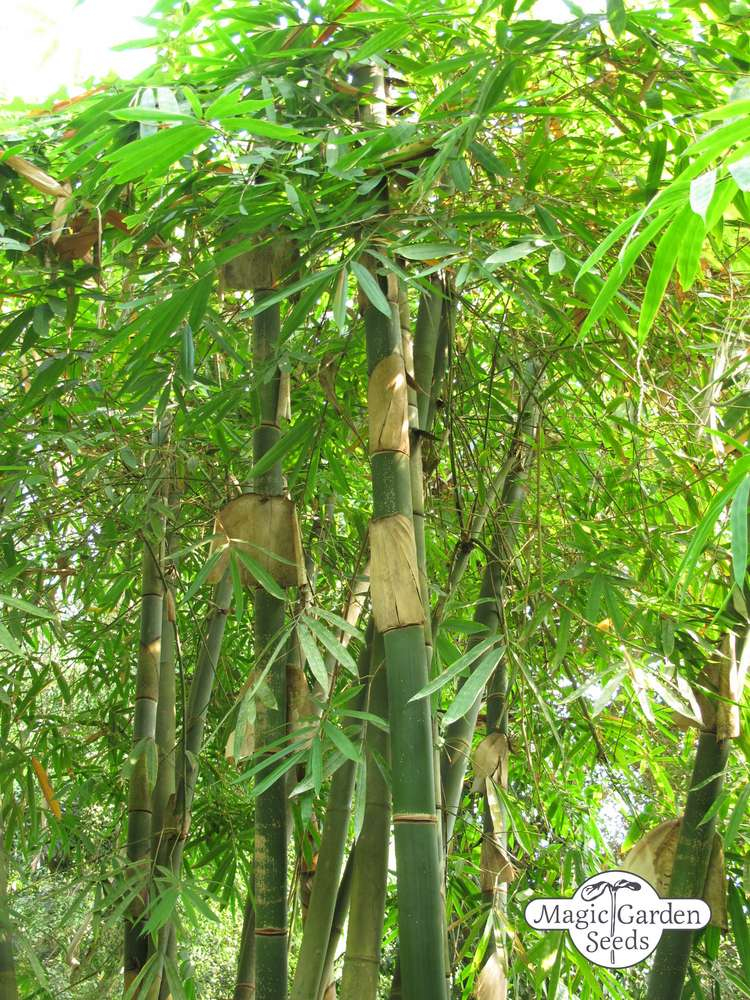 Moso Bambus Phyllostachys Pubescens Besondere Nutzpflanzen