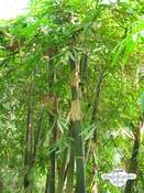 Moso Bambus (Phyllostachys pubescens)