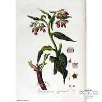Beinwell (Symphytum officinale) #5
