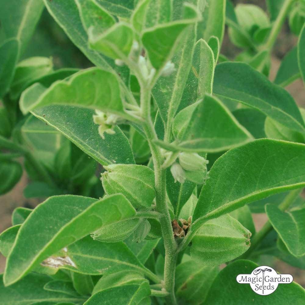 Ashwaganda Withania somnifera Schlafbeere Ayurveda /& TCM-Heilpflanze